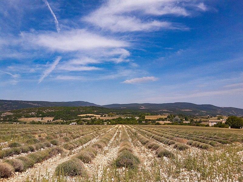 Un champ de lavande au mois d'août quelque part dans le Vaucluse