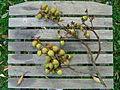 Unidentified fruits of a tree.jpg