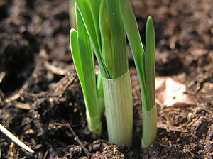 Narcissus (plant) - Narcissus shoots emerging, with sheathed leaves