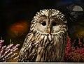 Ural Owl (Strix uralensis) in Ljubljana, Slovenia.jpg