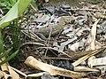 Urban rubbish cleaner - Nile Monitor - Dar es Salaam.jpg