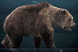 Reconstitution d'ours des cavernes