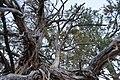 Utah Juniper branches on Butler Wash Ruins trail, February 2019.jpg