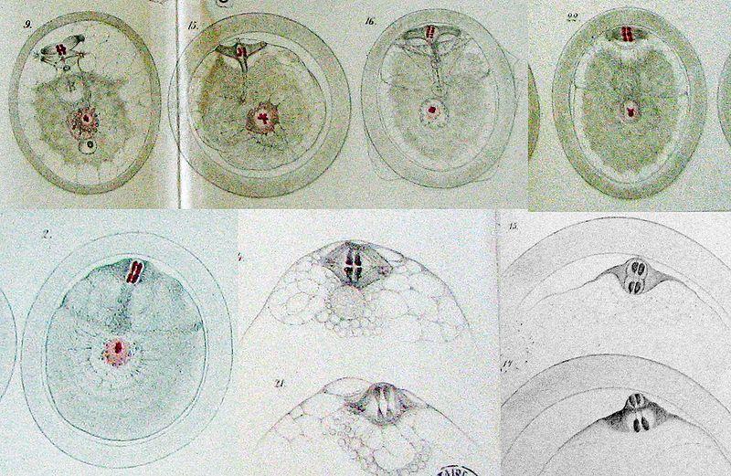 File:VanBeneden-1883-3.jpg