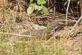 Varanus bengalensis 04431.jpg
