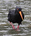Variable oystercatcher 3 (31517317311).jpg