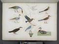 Varie specie d'uccelli rappresentati nelle cacce. La maggior parte sono distinti coi loro antichi nomi scritti in geroglifici (NYPL b14291206-425565).tiff