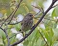 Vegetarian Finch (Platyspiza crassirostris) (20197260538).jpg
