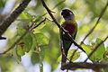 Venezuelan Parakeet - Perico Pintado ( Pyrrhura picta emma) (15839019737) (2).jpg