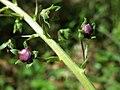 Verbascum phoeniceum sl27.jpg