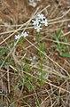 Verbena tenuisecta = Glandularia pulchella (Verbenaceae) (4759383845).jpg