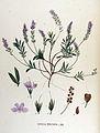 Veronica prostrata — Flora Batava — Volume v17.jpg