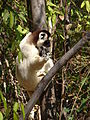 Verreauxs Sifaka , Isalo National Park (3953338133).jpg
