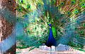 Vibrant peacock.jpg