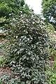 Viburnum lantana Mohican 2zz.jpg