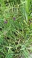 Vicia cracca, Meerwijck, Nederlands.jpg