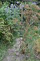 Vicia cracca flowering plant, vogelwikke bloeiende plant(5)bewerkt.jpg