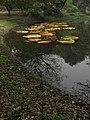 Victoria amazonica - Indian Botanic Garden - Howrah 2012-01-29 1699.JPG