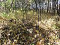 Vincetoxicum rossicum SCA-05092.jpg