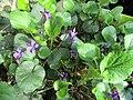 Violettes mars.jpg