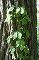Virginia Creeper (Parthenocissus quinquefolia) - Flickr - Jay Sturner.jpg