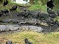 Vultures on Dead Gator , NPSphoto, P.Baxter (9099193883).jpg