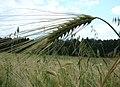 WILCZE ŁUGI lato 14 - panoramio.jpg