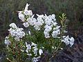Wallum Heath or NSW Coral Heath (3474580441).jpg