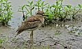 Water Thick-Knee (Burhinus vermiculatus) (6012206084).jpg
