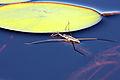 Water strider skimmer.jpg