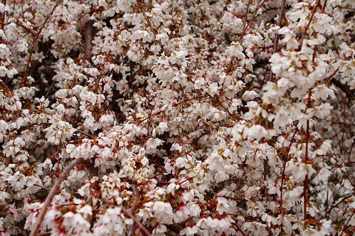 File Weeping Cherry Tree Bloom West Virginia Forestwander Jpg