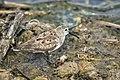 Westerrn Sandpiper - Texas - USA H8O5425 (15842564162).jpg