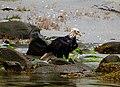 Wet Eagle on the beach (4206998775).jpg
