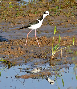 White-backed Stilt (Himantopus melanurus) (31379754322).jpg