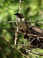 White-browed Sparrow-weaver Plocepasser mahali in Tanzania 1651 Nevit.jpg