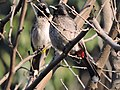 White-cheeked and red-vented bulbul , Mohali, Punjab, India.JPG