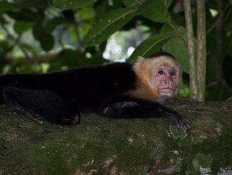 White-headed capuchin - Some authorities consider this a member of the subspecies Cebus capucinus imitator.