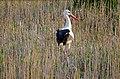 White Stork (Ciconia ciconia) (25790779670).jpg