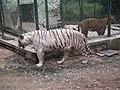 White Tiger from Bannerghatta National Park 8516.JPG