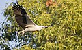 White bellied sea eagle 4 (14792075050).jpg