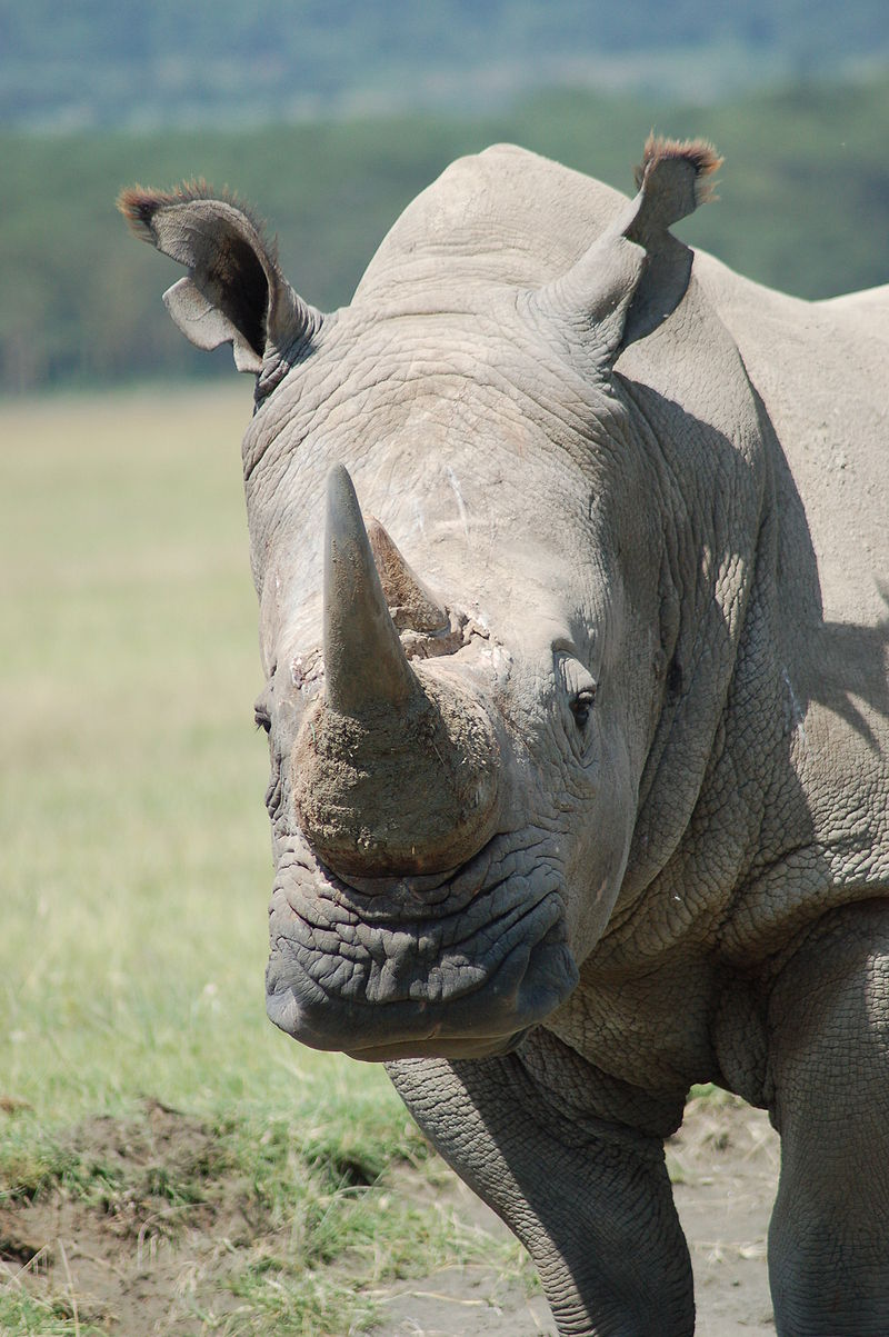 Nosorożec biały