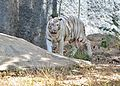 White tiger at vandalur.jpg