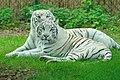 White tigers stukenbrock.jpg