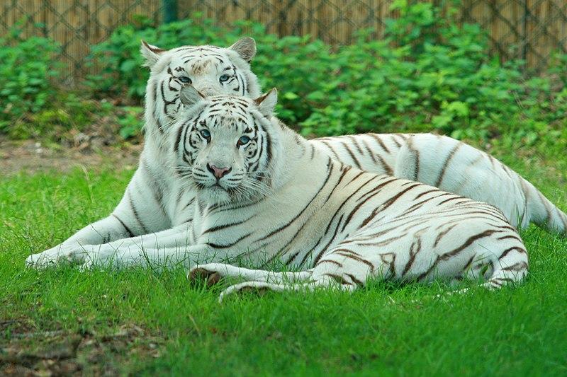 Arctic Cat El Tigre Wiki
