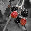 Wild Blackberries (20808306541).jpg
