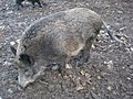Wildschwein 1.jpg