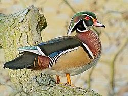 Wood Duck (Aix sponsa), Parc du Rouge-Cloître, Brussels.jpg