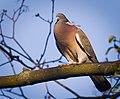 Wood pigeon (46569324725).jpg