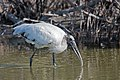 Wood stork little estero (31750872012).jpg