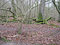 Woodland floor in winter - geograph.org.uk - 646611.jpg